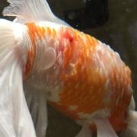 100枚!金魚の鱗がはがれ、水膨れのようなものも発生しています。 20年ほど前から飼っている金魚ですが、症状を調べてもどれに当たるのかいまいち分かりません。 金魚に詳しい方、病名と治し方をどうぞ教えてください。  なお、一週間前までは尾びれの近くにあった水膨れはもっと大きかったのですが、少し小さくなりました。  水替えは今までも定期的に行っておりそこまで悪化していないと思います。...