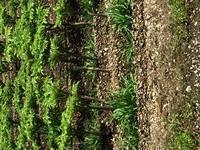 写真の植物はなんですか? 7月の初めに群馬県の沼田あたりで多く育てられいたのを目にして気になりました。教えて下さい。