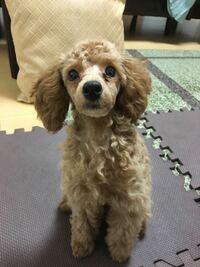 涙やけ 気になります。 異常にかたほう。 拭いてあげてますが気になり 対処法ありますか?  三ヶ月の子犬です。トイプードル。  あと、ファインペッツという ドッグフードおすすめでしょうか? 540円で初回試しで...