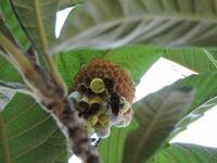 写真のハチがびわの木に巣を作っているのですが、何というハチですか?