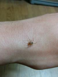 この蜘蛛はアシダカグモの幼体でしょうか?