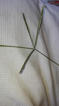 ティフブレアを植えている庭に画像の草がはえてきました。葉もティフブレアより大きいです。駆除したほうがいいでしょうか?