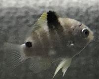 先日潮だまりで捕まえた魚なんですがこれは何という魚でしょうか?? 教えてください(._.)