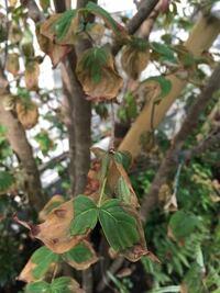 ヤマボウシの葉が枯れかけています。昨年12月に引っ越してきた新居の庭に植えてもらっていました。子供が生まれたばかりだったので冬場はなかなか水やりができませんでしたが、春からしっかり水やりをしています。ヤ マボウシの新芽も元気に育っていました。しかし、5月頃から葉に白い虫のようなものがたくさんついていて、葉にも時々水をやるようにしていました。6月あまり雨が降らず、だんだん元気がなくなり、7月に...