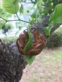 このように一枚の葉っぱにセミの抜け殻が二体あるのは、兄弟なんでしょうか? それともただの仲良しでしょうか。