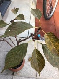 育てている桜の盆栽の葉が変色してしまいました。 病気でしょうか?? 買ってから2年目の盆栽です。