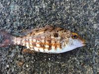 ベラっぽいのですが、ベラの画像と比べると若干違う様に感じます。 どなたかこの魚を知ってる方はいらっしゃいませんか?