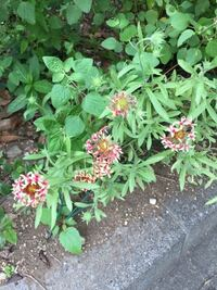 この線香花火みたいな小さな可愛い花は何ですか?