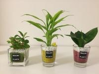 ホームセンターでミニ観葉植物を買ったのですが、名前の表示がなく、わかりません。 植物に詳しい方、名前わかりますでしょうか。