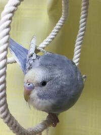 生後1ヶ月半のセキセイインコです。 雌か雄かわかる方教えてください。  スパングルグレーです。少し青っぽいです。