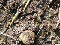 """真ん中辺りの""""モコモコ""""は何か教えて下さい。 毎日土の盛り上がりができています。 粒状の直径5センチ位のまとまりが畑に点在しています。"""