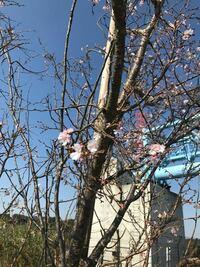 今日撮ったのですが、これはボケ桜でしょうか?