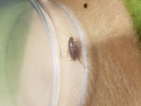 家に ゴキブリっぽい虫がでたのですが……  ゴキブリの子供でしょうか? ご回答お願いします。