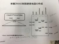 単離DNAの制限酵素地図の作成の問題です。助けてくださる方がいらっしゃいましたらどうかお願いします。  問題は、SmaⅠとHindⅠの位置を書き込み、距離(あるサイトからあるサイトまで何キロベ ースか)も書き込み...