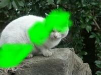 ブチ猫ちゃんのブチ模様にぼかしを入れると白猫ちゃんにしか見えないですかニャ? (ФωФ)