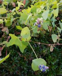 この植物の名前を教えて下さい。 ツル状で小さな棘があります。