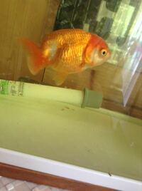 うちの金魚が、松かさ病、赤斑病に、かかってしまいました。 どうすれば良いですか?  魚に詳しい方、宜しくお願いします...。