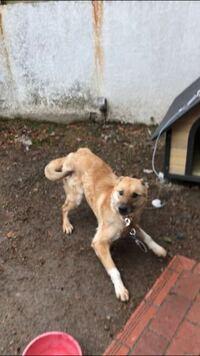 家族が山で野良犬を保護したのですが、この子の犬種はなんでしょうか? 雑種だとしたら何ベースだとかわかりますでしょうか?
