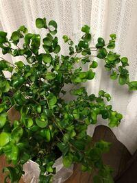 ベンジャミンバロック の 剪定 について教えてください。 本日、ベンジャミンバロックを購入しました。 5号の鉢植えで新芽も出ているような元気の良さそうなベンジャミンバロックです。 しかし、全体的に伸びすぎている?のではないかと思っています。枝の先に葉がつきすぎていて重いのか、伸びている枝は、先から5センチくらいからは下にシナっています。そして、枝が混みあっているようにも見えます。 もうひと鉢...
