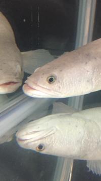 アクアリウムについて 家で飼っているプラチナカムルチーの 目に白いモヤモヤがあります。何でしょうか? 教えてください。