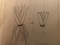 オーガスタストレチアは根っこなしで挿し芽や挿し木できませんよね。 昨日地植えのオーガスタを抜いた時、根っこがちぎれ写真の絵のようになってしまいました。以前他の方の質問で、オーガスタ は挿し芽で増やせると書いてありました。 根がない状態で元に戻すことはできますか?