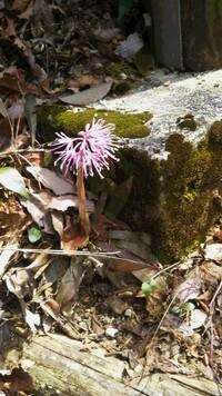 この花はなんという植物でしょうか。里山で見つけたのですが、地上から茎がまっすぐ伸び、花部へ至るというものでした。 はじめイカリソウかなと思ったのですが、色が違うので画像検索してもヒットしなかったので、お教えください。