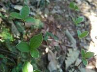 地面近くの植物の名前を教えてください、 岐阜県鳩吹山で、 20180330,