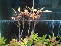 オタフクナンテンが枯れてしまったようです。 自宅の地面に植えたオタフクナンテンがだんだん葉落ちして、 新芽らしきものが見当たりません。 これは枯れてしまったのでしょうか? 植えてから5年ほどたっていま...