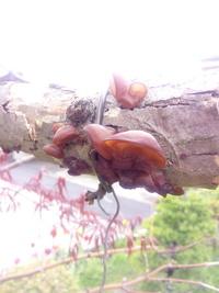 半分枯れたモミジの木からキクラゲが出ていました。食べられますか?