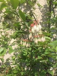 木からぶら下がってるような白い花?蕾?は、何という木ですか?ピンボケ写真ですみません。