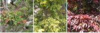 庭木にもみじが3本あり、それぞれのもみじの名前を教えてください。 1,1本も葉っぱが緑色で先が少し赤っぽいです。 2,1本は葉っぱが緑色です。 3,もう一本は今の時期(5月)紅葉したよう に葉っぱが茶色になっています。 画像確認お願いします。