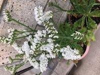 この造花のような白い花の名前を教えてください