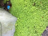 自宅周りに生えてる大量の苔の名前がわかりません。わかる方教えていただけらと助かります。 よろしくお願いします。