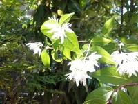 白い花の咲く木の名前を知りたいです。 鉢植えの木に種が落ちたのでしょうか。ふと気づいたら白い花を咲かせていました。 名前を知りたいです。 わかる方教えてください。