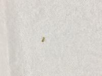 ベランダの窓の網戸にここ最近急に虫が大量発生しました…何の虫か分かる方いますか?  ショウジョウバエかと思っていたのですが、網戸をすり抜けて入ってきたものを捕まえると、やや黄色みが かってました。ア...