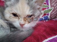 猫の目がこんな感じです 猫購入時から少し変で買って一週間、5日目からロメワン点眼薬してます。 薬あってますか? はじめ右目 2日後から左目がひどくなり、目の下に膿か腫れ上がっていて目 が空きません