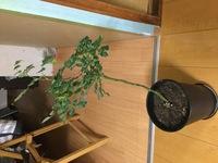 バラの育てかたについての質問です。というか助けてくださいお願いします(泣)  先日知り合いからバラの苗を譲られました。 飽きて処分に困ったから貰ってってことらしいです。 (おいこら) 自分は植物の育成の経験はそこそこあってミニバラも育てたりするのですが、今回貰った苗が鬼畜すぎてどうすればいいかわかりません。(画像) 知り合い曰く、一昨年に買ってから花が咲かないらしいです。 ......
