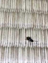 この虫はゴキブリですか?  部屋にこの写真の虫が10匹くらい現れました。ゴキブリでしょうか?  大きさは触覚無しで1センチくらいです・・・。