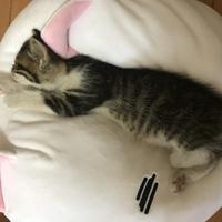 これは何猫になるんですかね? サバトラ白?キジトラ白?