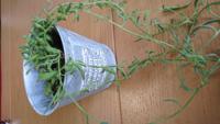 観葉植物の名前を教えて下さい 100均で購入した観葉植物が、育って伸びて来ました。 一回り大きい鉢に植え替えましたが、名前がわからないので、育て方を検索できません。 名前を教えて下さい。