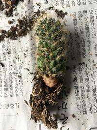 サボテンの根腐れについてです。5cmほどの小さなサボテンです。サボテンの付け根がピンク色に変色しブヨブヨになったので捨てようかと思って放置していた(3ヶ月ほど)のですが花芽が出来ていました。花芽が出来る...