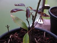 樫の木の苗25cmほどの葉っぱ(画像内、新しく出ている上の赤い3枚)の先端が縮んできた理由は何が考えられますか? ポットに植えてメネデール希釈液などかけて最初は元気よかったんですが。  紆余曲折ありドングリから芽が出て少し大きくなってから野外に植えたんですが、強烈な太陽光や積雪のあとでやはり元気がないのでこの春ポットに戻したら画像のように再び新芽や新葉が出てきました。同時期に野外に植えた...