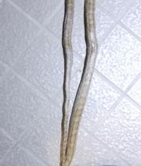 家の玄関付近にヘビが出ました。 模様からして、これはなにヘビでしょうか?  ちなみに頭は三角でした… 毒蛇の可能性もお願いします。