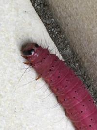 家の前にいたこの芋虫の名前わかる方いましたらお聞きしたいです。大きさは5センチくらいで場所は東京です。よろしくお願いいたします。