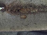 添付の写真は、なんという虫の蛹でしょうか?  こちらは北陸地方、7/22日に観察したものです。  よろしくお願いしますm(_ _)m