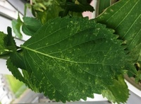 大葉の葉がまだらっぽくなっています。 ベランダで大きなバケツ栽培をしている大葉ですが、数年同じ鉢に植えているので連作のせいでしょうか? 写真のように葉に斑のような濃淡が出ます。 新葉のころはまだましですが、葉が大きく成長するにつれ出ます。  成長はよく次々と葉は育っていますが、、、暑さのせいでしょうか?  食べれますか?