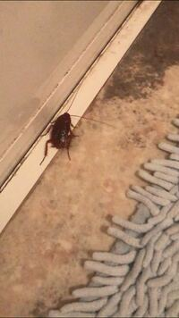 【閲覧注意】ゴキブリの画像が添付してあります。 風呂場に画像のようなゴキブリが出ました。 これはクロゴキブリの赤ちゃんですか? それともチャバネゴキブリですか?  ゴキブリを発見してからブラックキャップを設置し、殺さずそのままその場を離れたのですがこれでゴキブリを根絶やしに出来るのでしょうか