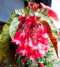 アメリカデイゴと思って写真を撮影したのですが  よく見てみると なんとなく違うような気がして  ネット調べてみたのですが よくわかりません。 この写真の花は何という名前の花なのでしょうか  教えてください。   よろしくお願いします