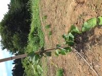 3月にキウイの苗を3本地植えしたのですが、管理について質問です。 3本とも苗の背丈を上に伸ばそうと思い、4月中頃に上部の芽2つを残し、他はすべて掻きました。するとそれぞれ以下のようになりました。 ①センセーションアップル ->一度すべての葉が枯れ、枯死したと思ったら下の方から新しい芽が出てきて徐々に全体に葉がついたものの、下の部分の蔓だけ伸びっぱなし。 ②マック ->こちらも...