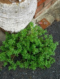 ご近所中に増殖中のこの植物の名前は??また、花が咲くのでしょうか?